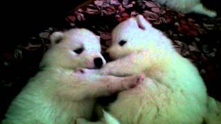 Щенки самоеда. Малышатам 3 недели. (Samoyed Puppies)