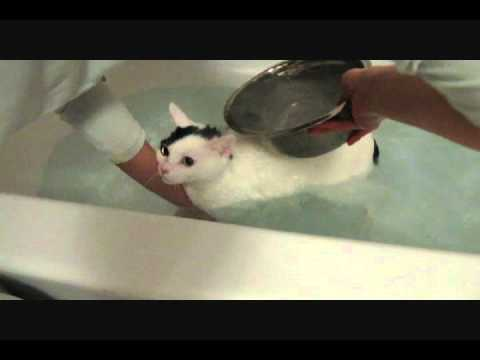 Cat taking a bath mooooooo mooooooo