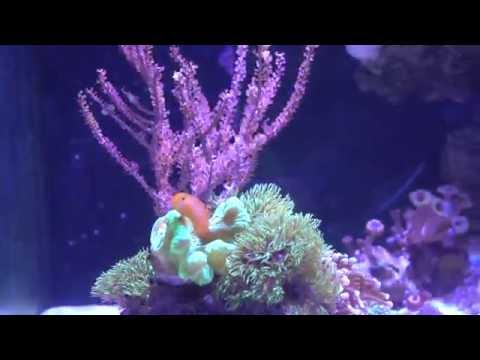 Great Addition To Most Reef Tanks: Clown Gobies!