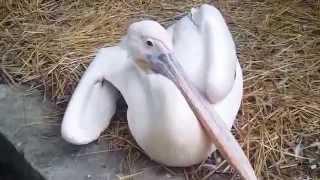 Мега-Прикольный злой пеликан