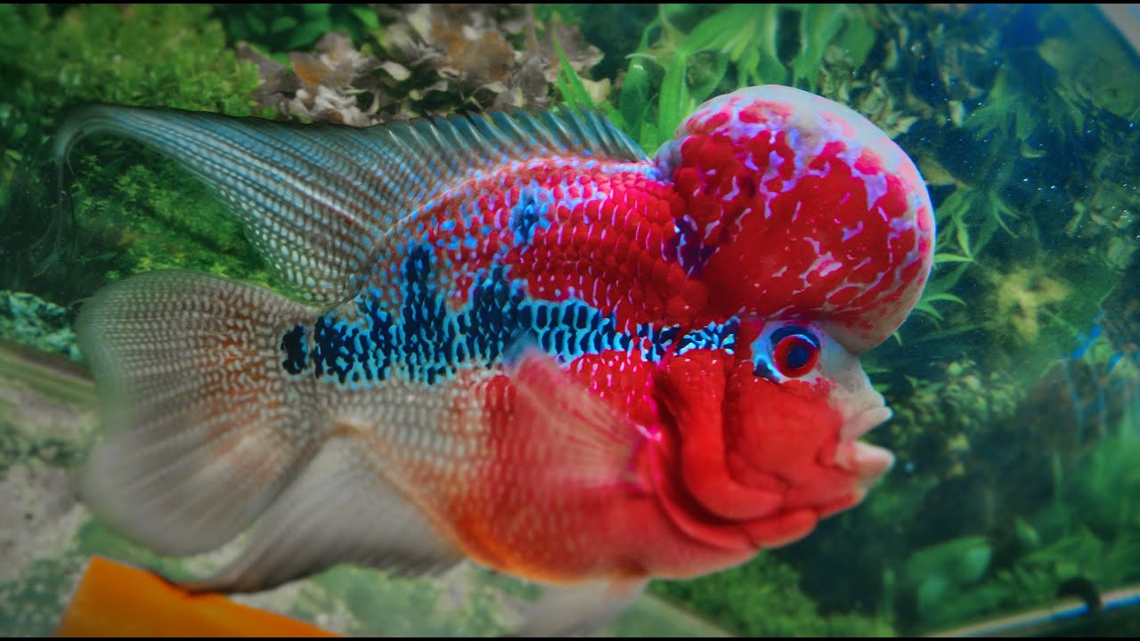Feeding Beefheart to Flowerhorn Part 1. - YouTube