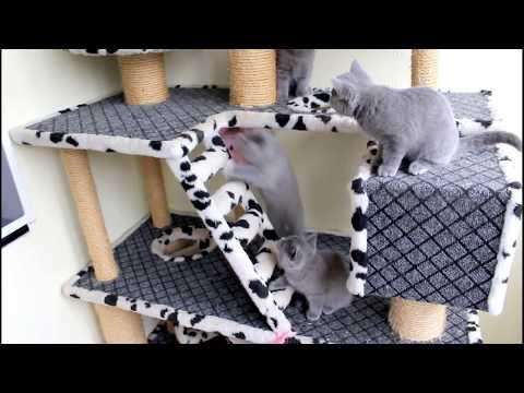 Голубые британские котята 2,5 месяца