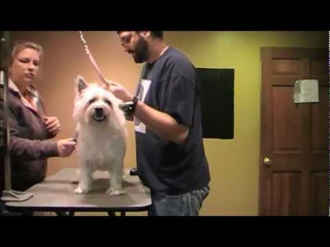 Grooming an aggressive dog