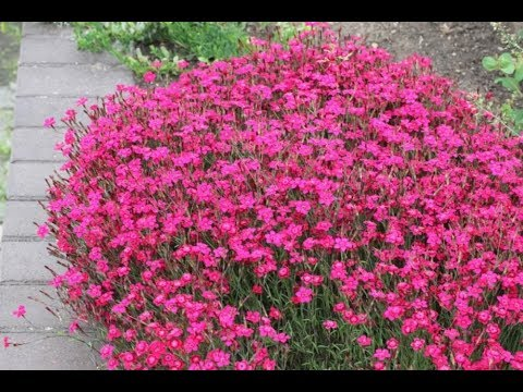 ГВОЗДИКА. как посеять гвоздику травянку на рассаду. посев гвоздики семенами