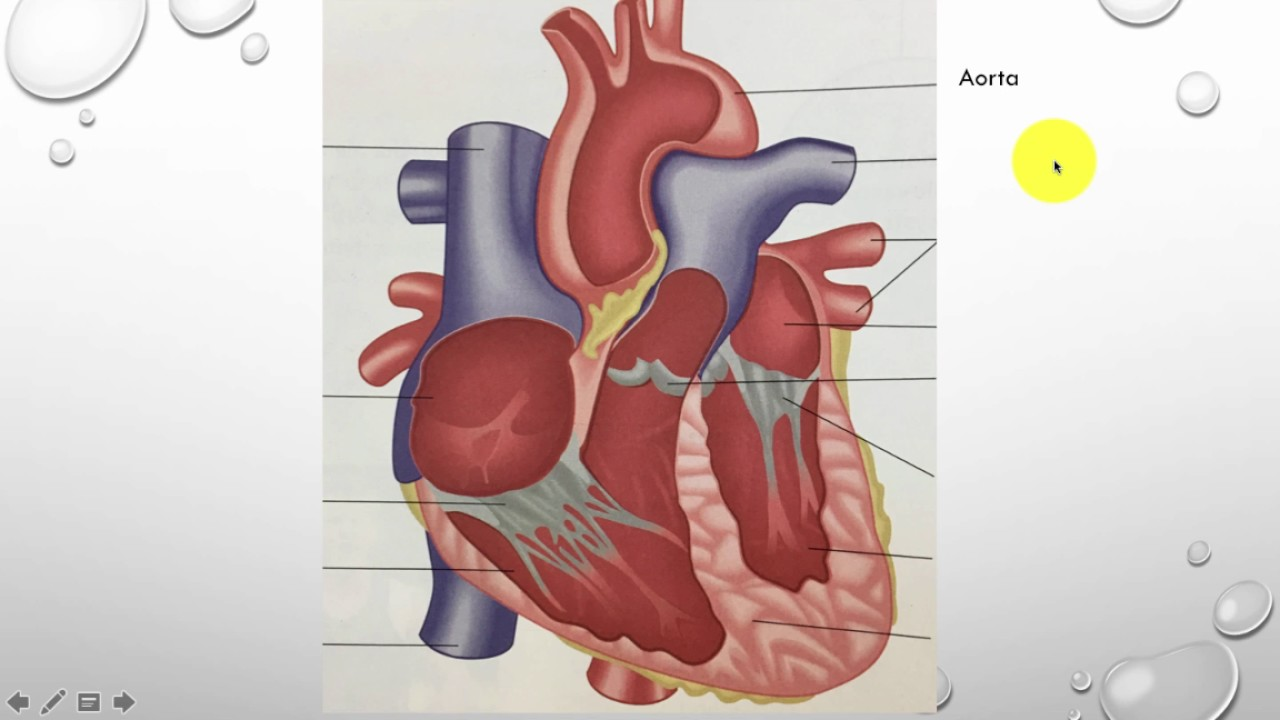 Gcse Pe Lesson 15 The Functions Of The Cardiovascular System In