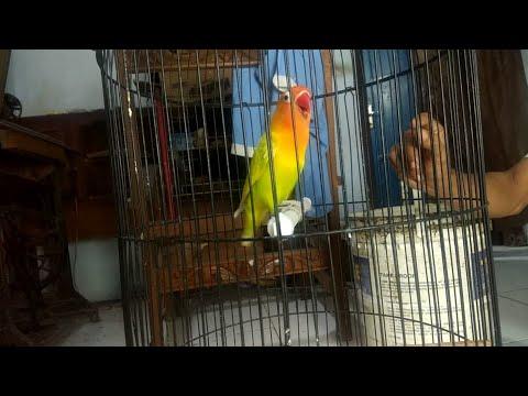 Lovebird Ngetik-ngetik (Ngekek) ampuh pancing Lovebird yang kurang FlGHTER
