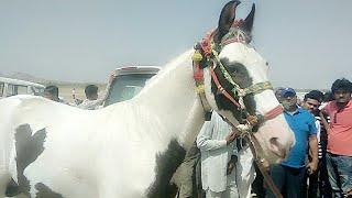 बाड़मेर के रेडाणा में आकर्षण का केंद्र रहा करोड़ो का घोड़ा, सलमान खान को नही बेचा था 2 करोड़ में भी