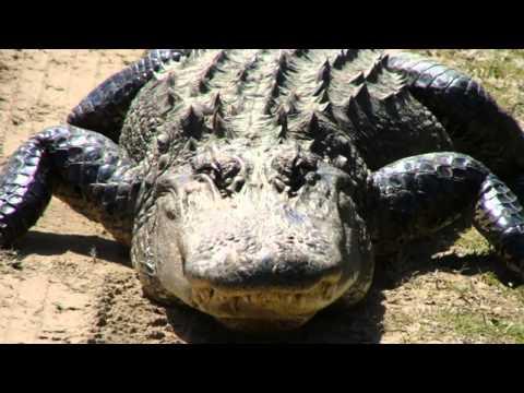 Alligators sounds