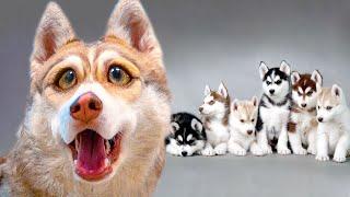 У МЕНЯ БУДУТ ЩЕНКИ!!! (Хаски Бублик) Говорящая собака Mister Booble