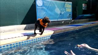 10 Week Old Puppy Chocolate Lab Labrador Retriever Jumps In Swimming Pool - 1st Time - Slow Motion