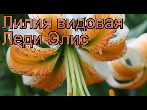 Лилия видовая Леди Элис (lilium) 🌿 лилия Леди Элис обзор: как сажать луковицы лилии Леди Элис