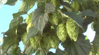 HOP RHIZOMES PRE-ORDER AT NORTHERN BREWER