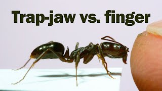 Does the snap of a trap-jaw ant hurt?