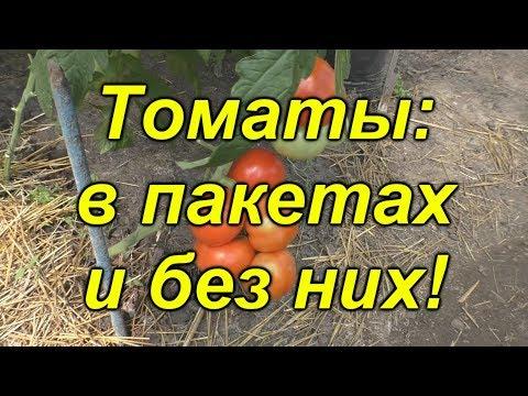 Вопрос: Какова технология выращивания томатов по Маслову для обильного урожая?