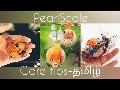 Pearlscale Goldfish Care-தமிழ்-Eshwar Gandhi
