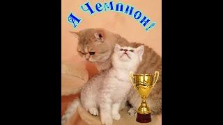 Шотландский котенок шиншилла серебро,от чемпиона.Одесса.продажа
