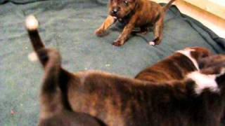 Gladius Staffordshire Bull Terrier Puppies At 24 Days' Old