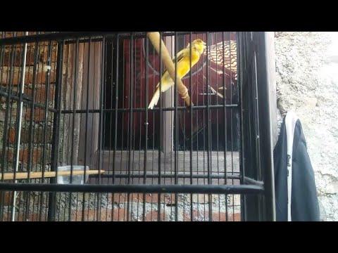 Download Lagu KENARI ISIAN LOVEBIRD NGEKEK PANJANG | Mengerikan!