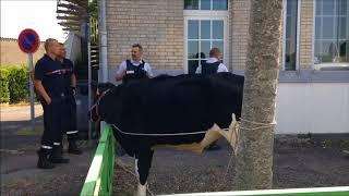 Une vache en cavale arrêtée par la police à Argentan