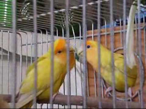 14 Fun Facts About Lovebirds | Science | Smithsonian