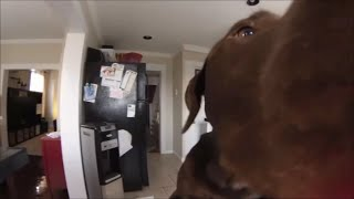 Chocolate Lab Grabs Food Off Top Of Refrigerator