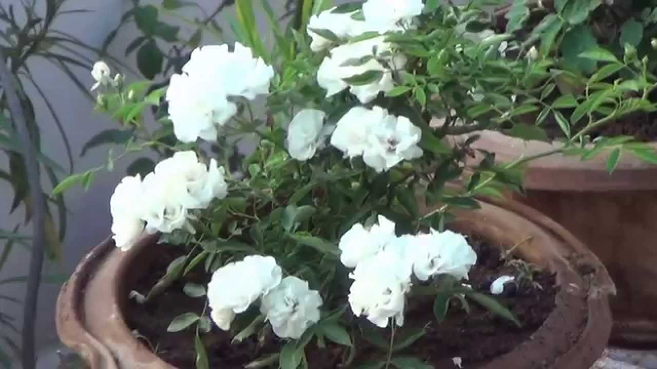 Terrace garden grow ornamental flowering and vegetable for Terrace plants