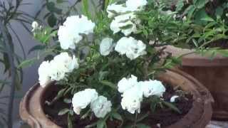 TERRACE GARDEN   GROW ORNAMENTAL, FLOWERING AND VEGETABLE PLANTS