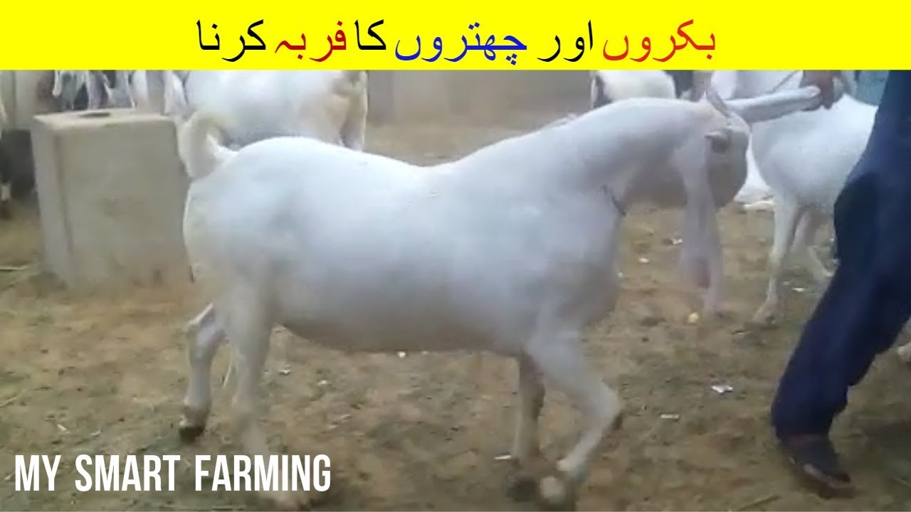 10   Goat and Sheep Fattening   بکروں اور چھتروں کو فربہ کرنا   Goat  Farming in India Pakistan