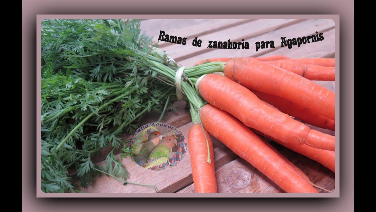 Mis Dos Hembritas Agapornis Roseicollis Verde Violeta Con 8 Meses Comiendo Ramas De Zanahoria Youtube También se pueden obtener en los cultivos de las aldeas. youtube