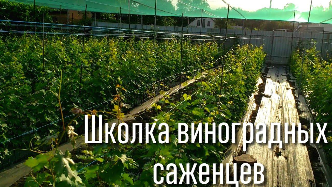Школка виноградных саженцев. Саженцы на продажу, прием заказов. Grape seedlings for sale