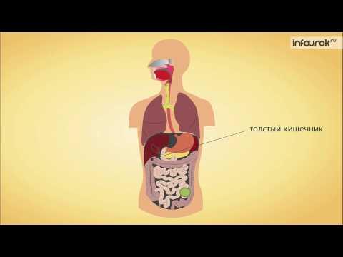 Анатомия и функция кишечника