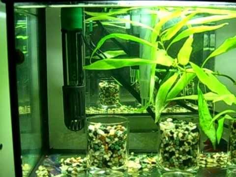 Bettas, African Dwarf Frogs, and Shrimp - 5 Gallon Tank