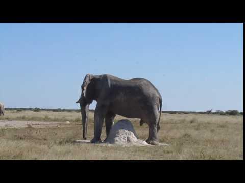 MVI 4408   Een olifant heeft ook behoeftes, Nxai NP