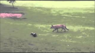 Fox Steals Golf Club Cover