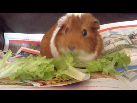 Guinea pig news guineazilla!!!