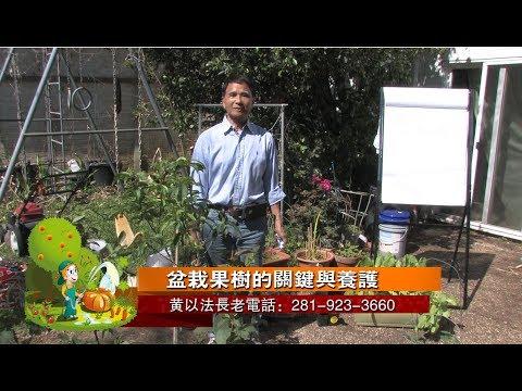 盆栽果樹的種植秘訣與施肥養護