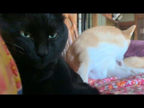 ね、眠くなんかニャイぞ Cat: I'm not sleepy yet!