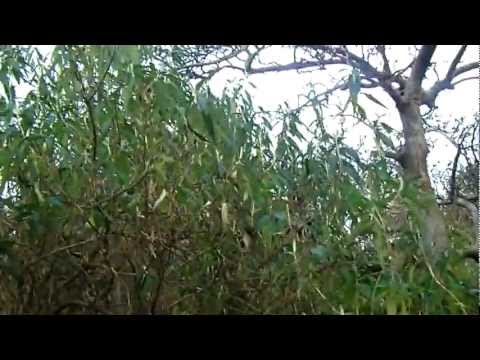 Winter Pruning - Buddleja