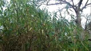Winter Pruning - Buddleja