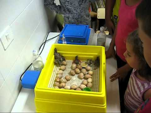como incubar un huevo