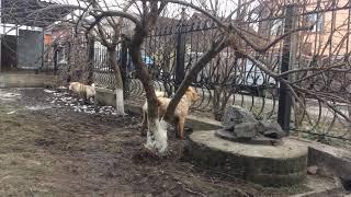 Как охраняют частный дом собаки породы Шарпей