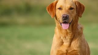 Как вывести блох у собаки в домашних условиях народными средствами?