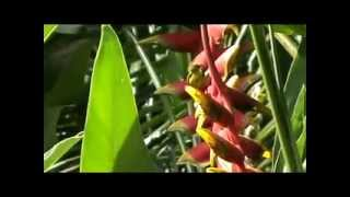 Nectarinia feeding on heliconia