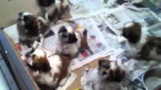 Shih Tzu Puppies In Dubai - For Sale - 050 4196464