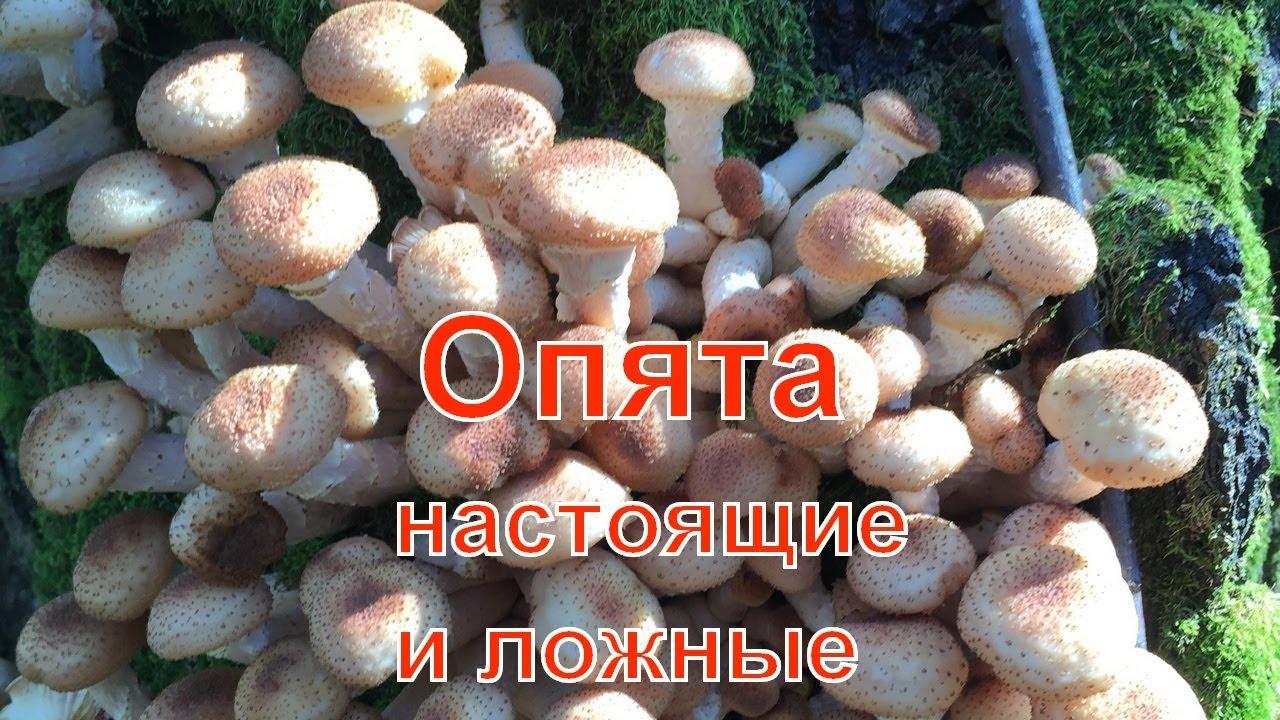 фото ложных грибов опят