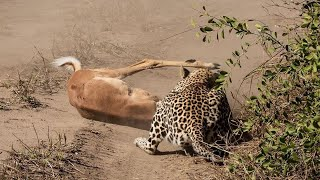 Leopard Feeding on Waterbuck & Impala!
