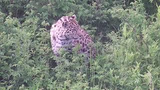 Дальневосточный леопард Leo 131M, июнь 2019
