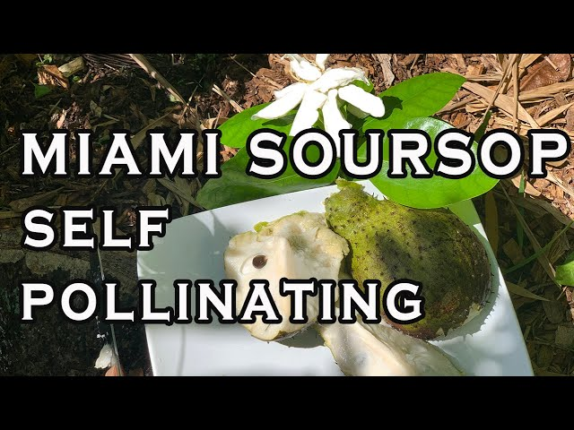 Miami Soursop - a SELF POLLINATING guanabana variety TASTING