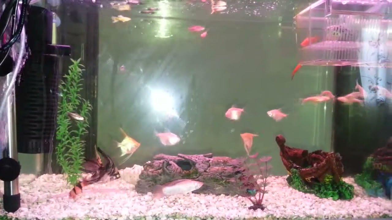 Mon petit aquarium d 39 eau chaude de 60l youtube for Poisson aquarium eau chaude