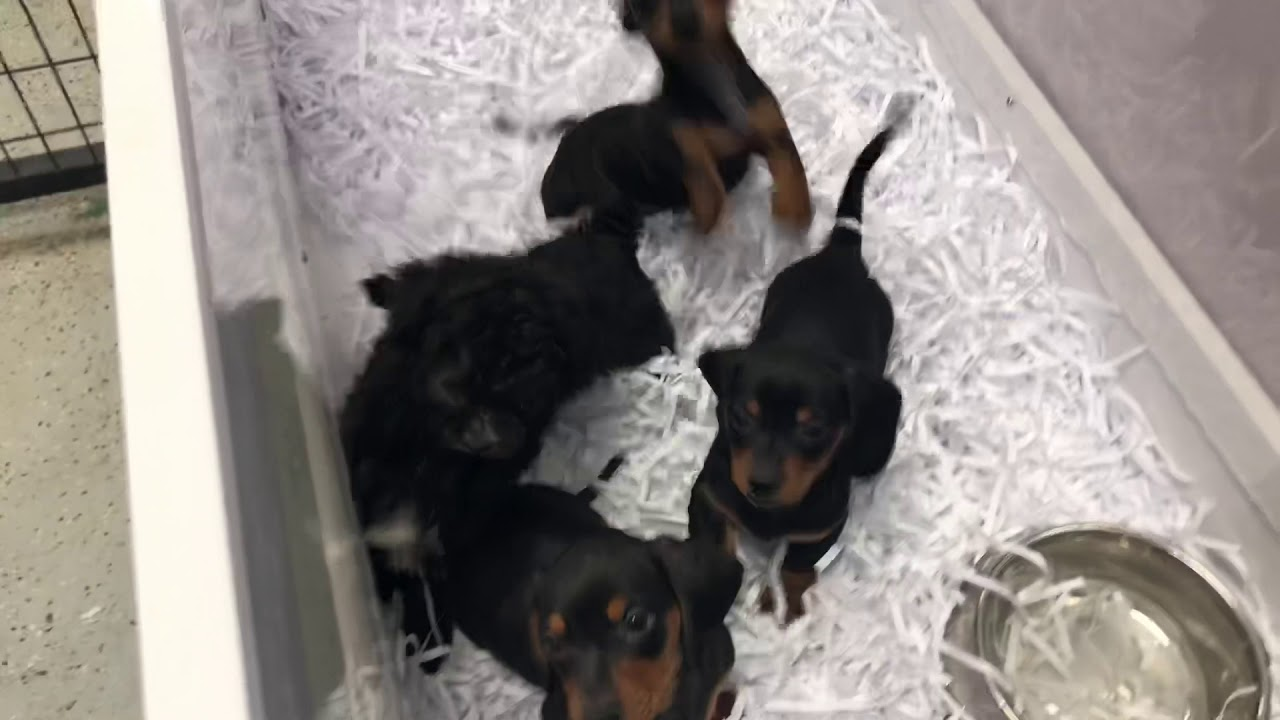 Puppies for sale and pups for sale